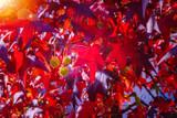 American Sweetgum (Redgum) Worplesdon / Liquidambar Styraciflua 50-80cm Tall