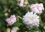 'Cecile Brunner' Fragrant Bush Rose, Delicate Soft Pink Hardy China Rose