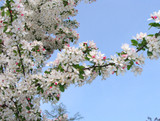 Japanese Crab Apple/ Malus Floribunda Tree 4-5ft Tall, Strong Branched Tree