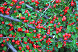 3 Cotoneaster Horizontalis / Wall Spray 30-40cm Tall Bare Rooted, Red Berries