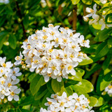 3 Mexican Orange Blossom / Choisya 'Ternata' in 9cm Pot, Pure White Scented Flowers