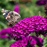 1 Buddleia davidii 'Royal Red' in 9cm Pot Buddleja Butterfly Bush