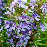 1 Rosemary / Rosmarinus officinalis 9cm Pot, Stunning Aromatic Plant