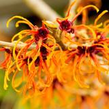 Hamamelis 'Orange Peel' / Witch Hazel 20-30cm in 2L Pot, Lovely Orange Winter Flowers
