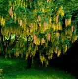 Laburnocytisus adamii / Adam's Laburnum, Golden Rain 4-5ft Tall