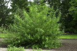25 Common Osier Willow 4-5 ft,For Basket Making,Salix Viminalis Hedging Plants