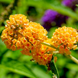 Buddleia Weyeriana Sungold in 2L Pot Buddleja Butterfly Bush, Yellow Sweet Scented Flowers