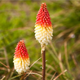 Kniphofia Uvaria / Red Hot Poker In 2L Pot, Stunning Spikes of Red Flower Buds