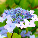 Hydrangea Serrata 'Blue Deckle' In 2L Pot, Gorgeous Long Blooming Flowers