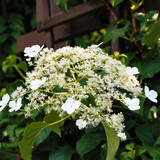 Climbing Hydrangea Anomala Petiolaris In 1.5L Pot, Large Shrub with White Flowers