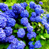 Hydrangea macrophylla 'Early Blue' In 2L Pot, Stunning Clusters of Blue Flowers