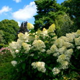 Hydrangea paniculata 'Kyushu' In 2L Pot With Stunning White Conical Flowers