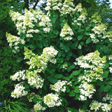 Hydrangea paniculata 'Baby Lace®' In 2L Pot With Stunning White Conical Flowers