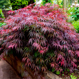 Japanese Purple Maple Garnet Tree, Acer Palmatum Garnet Plant in 2L Pot