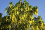 Common Laburnum / Laburnum Anagyroides / Golden Rain / Golden Chain, 2ft Tall in 2L Pot