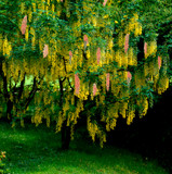 Laburnocytisus adamii / Adam's Laburnum, Golden Rain 60-80cm Tall in 3L Pot