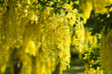 Laburnum Watereri Vossii / Voss's Laburnum, Golden Rain in 4L Pot