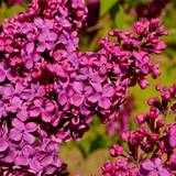 'Ludwig Spaeth' Syringa Vulgaris-Branched Lilac Tree 40-60cm Shrub in a 2L Pot