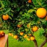 Citrus sinensis 'Orangin' Tree, 20-25cm Tall In a Pot, Sweet & Tasty Fruit