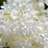 Syringa  'AGNES SMITH' -Branched Lilac Tree 40-60cm Shrub in a 3L Pot