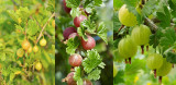 3 Mixed Gooseberry Plants in Large Pots- Red, Green and Yellow Bushes Ready To Fruit!