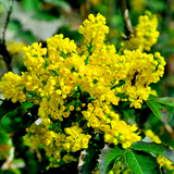 1 Mahonia Aquifolium / Oregon Grape in 2L Pot, Evergreen Shrub,Yellow Flowers