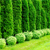 5 Western Red Cedar 'Atrovirens' / Thuja plicata Atrovirens 2ft Tall in 2L Pot, Evergreen Hedge