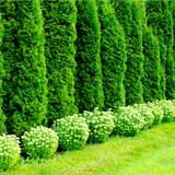 5 Western Red Cedar 'Atrovirens' / Thuja plicata Atrovirens 3ft Tall in 2L Pot, Evergreen Hedge