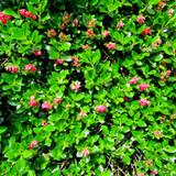 10 Escallonia 'Crimson Spire' in 9cm Pots, Evergreen Hedging Plants