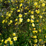 Jasminum Nudiflorum / Winter Flowered Jasmine in 2L Pot Bright Yellow Flowers In Winter