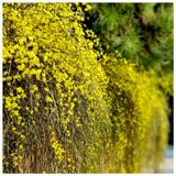 Jasminum Nudiflorum / Winter Flowered Jasmine in 2L Pot Bright Yellow Flowers In Winter