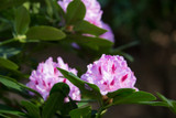 3 Rhododendron 'Albert Schweitzer' In 1L Pots, bell-shaped Rose Pink Flowers