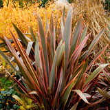 Phormium 'Maori Queen' / Rainbow Queen,  New Zealand Flax Lily in 9cm Pot, Stunning Variegated Foliage