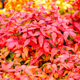 3 Nandina Domestica Blush Pink / Heavenly Bamboo 'Blush Pink' In a 9cm Pots, Stunning Pink Foliage