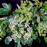 Sambucus Nigra 'Golden Spark' Elder Flower / Elderberry, 30-40cm Tall in 2L Pot
