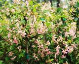 Pink Star Jasmine Plant / Trachelospermum Pink Showers in 2L Pot, Fragrant Flowers