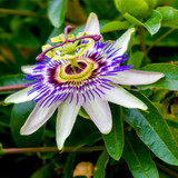 Passiflora Caerulea, Blue Passion Flower in 2L Pots, Tasty Edible Fruit