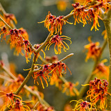 Hamamelis Jelena- Aphrodite / Witch Hazel 40-60cm in 2L Pot, Lovely Orange Winter Flowers