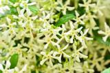 1 Trachelospermum Jasminoides / Star of Toscana Jasmine in 9cm Pot