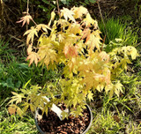 Japanese Maple Tree Orange Dream, Acer Palmatum Orange Dream Plant in 12cm Pot