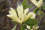 Magnolia 'Yellow Lantern' 30-40cm in 1.5L Pot, Beautiful Pale Lemon Flowers