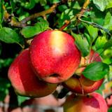 Dwarf Patio Braeburn Apple Tree in 5L Pot, Self-Fertile, Crispy & Aromatic