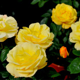 Rosa 'Arthur Bell' Floribunda Rose Bush, Clusters of Bright Yellow Flowers