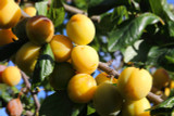 Dwarf Patio Golden Gage Plum Tree in a 5L Pot Self-Fertile & Heavy Cropper, Ready to Fruit