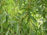 3 Golden Willow 3-4ft,Salix Alba Vitellina Hedging Plants,Quick Growing Screen