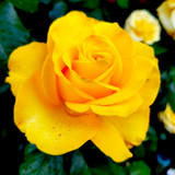 'Golden Wedding' Floribunda Rose Bush / Plant for 50th Wedding Anniversary