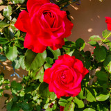 'Ruby Wedding' Hybrid Tea Rose Bush / Plant for 40th Wedding Anniversary