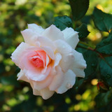 'A Whiter Shade of Pale' Hybrid Tea Rose Bush , Award of Garden Merit Rose, Pale Pink Flowers
