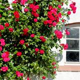 'Etoile de Hollande' Climbing Rose Bush , Stunning Deep Crimson Red Fragrant Flowers