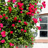 'Etoile de Hollande' Climbing Rose Bush , Stunning Deep Crimson Red Fragrant Flowers